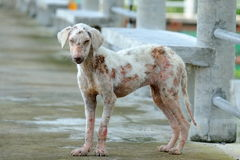 Stray Dog. Suffering Skin Problems Stock Photography