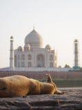 Stray Dog at Taj Mahal. A stray dog with crooked ear looking at the Taj Mahal in Agra India Stock Photo