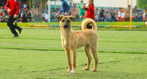 Stray dog try to play football Royalty Free Stock Photography