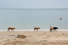 Stray dog is walking on the beach one. Stray dogs, brown dog three and black dog one is walking on the beach somewhere. See the sea and sky background is stock photography