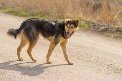 Stray dog walking on a street at sunny day Stock Photography