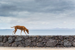 A stray dog walking on a wall. A stray dog taking himself for a walk by the sea Stock Images
