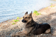 A stray dog walks on the beach, brown black color. Royalty Free Stock Images