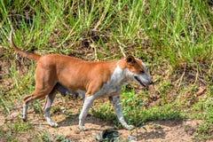 Stray dog walks. Stray dog is running on foliage background Royalty Free Stock Photos