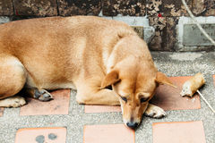 Stray dog in Wat Phrathat temple on Doi Suthep, Chiang Mai, Thailand Royalty Free Stock Photos