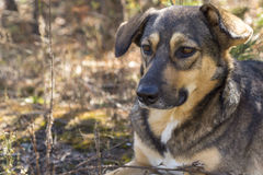 Stray dog in the woods, hungry and tired. Royalty Free Stock Photos