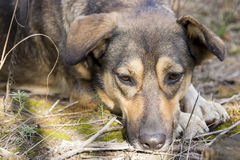 Stray dog in the woods, hungry and tired. Royalty Free Stock Images