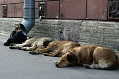 Stray dogs. Photo stray dogs in Russia Royalty Free Stock Image