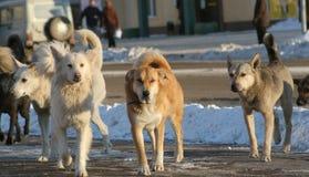 Stray dogs stock photo