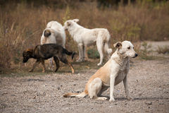 Stray dogs. Hungry stray dogs in the Polish countryside looking for food Royalty Free Stock Images