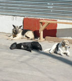 Stray dogs Stock Images