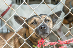 Stray dogs behind fenced enclosure Stock Images