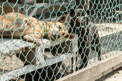 Stray dogs behind fenced enclosure Royalty Free Stock Image