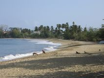Stray dogs on Carribean beacH. Sandy  beach in Tobago with stray dogs Stock Photo
