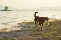 Stray dogs is carrying die fish in mounth. Stock Image
