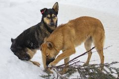 Stray dogs with chips on their ears, red-black and tan dogs playing in the winter with stick. Beautiful yard purebred dogs. Stray dogs with chips on their ears royalty free stock photos