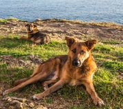 Stray dogs at coast Royalty Free Stock Image