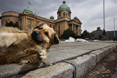 Stray dogs Stock Image