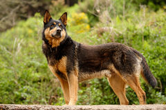 Stray dogs of the island of La Palma Stock Images