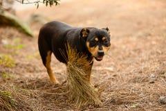 Stray dogs of the island of La Palma Royalty Free Stock Image
