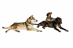 Stray dogs isolated Royalty Free Stock Images