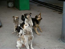 Stray dogs. A pack of stray street dog asking for food near the bus Royalty Free Stock Images