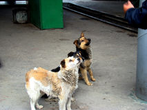 Stray dogs. A pack of stray street dog asking for food near the bus Stock Image