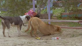 Stray dogs pick up food slow motion video stock video footage
