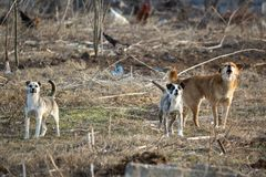 Stray dogs ready to attack. Anger stray dogs ready to attack on a desolate land royalty free stock images