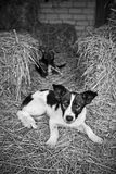 Stray dogs resting. On hay Royalty Free Stock Photography