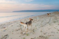 Stray dogs on sea beach. Mongrel stray dogs on the deserted sea beach at dawn royalty free stock photos