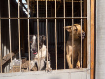 Stray dogs Royalty Free Stock Image