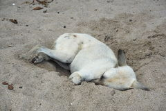 The stray dogs sleeping. The stray dogs sleeping in the sand pit at the seaside Stock Photos