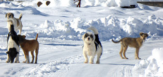 Stray dogs on a snow Stock Images