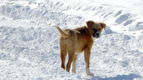 Stray dogs on a snow Royalty Free Stock Photography