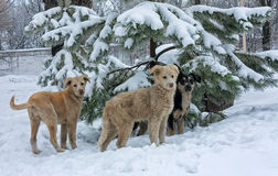 Stray dogs in the snow. Winter Royalty Free Stock Photography