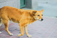 Stray dogs on street sad Stock Images