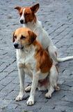 Stray dogs, in street