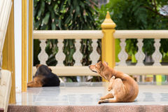 Stray dogs in the temple thailand. Royalty Free Stock Images