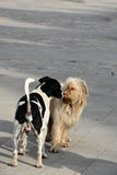 Stray dogs. Two dirty stray dogs in the streets of Cyprus are sniffing each other royalty free stock photos