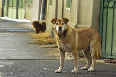 Stray dogs. Two stray dogs in the street Royalty Free Stock Images