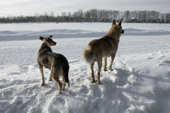 Stray dogs. Two stray dogs in winter Royalty Free Stock Photo