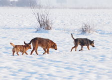 Stray dogs in winter time Stock Images