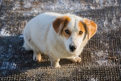 Stray fat dog looks you in the eye sitting on the threshold. Old royalty free stock image