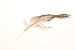 Stray feather. Isolated on a white background Stock Photo