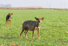 Stray female dogs is waiting for feeding by volunteers Royalty Free Stock Photos
