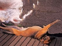 Stray German Sheppard sleeping in a strange position on a beach royalty free stock images