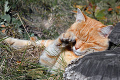 Stray ginger cat stock photography