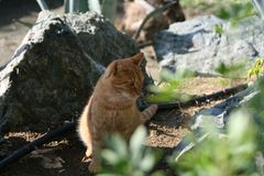 Ginger cat in the garden stock photography