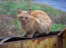 Stray Ginger Cat Royalty Free Stock Photos